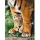 Bengalisches Tigerbaby
