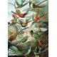 Kolibris - Ernst Haeckel