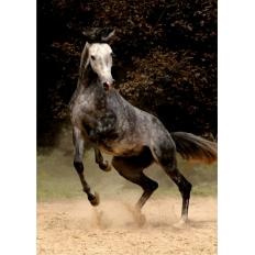 Steigender arabischer Grauschimmel - Magie der Pferde