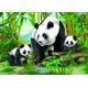 Pandas im Jungle