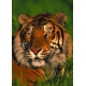 Lauernder Tiger