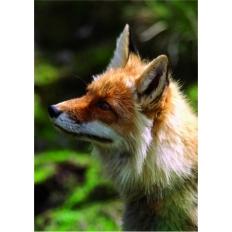 Fuchs - Was ist da bloss los?