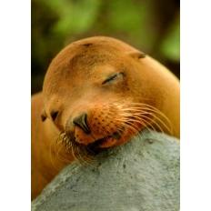 Seehund beim Mittagsschlaf