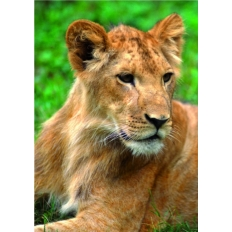 Löwen Weibchen beim Ruhen