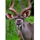 Kudu - Ich höre alles