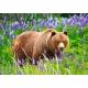 Bear on the Meadow